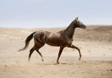 Akhal-teke horse running in desert Stock Photos