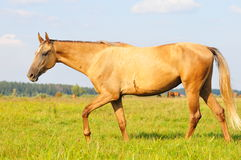 Akhal-teke horse running in desert. The akhal-teke horse running in desert stock photos