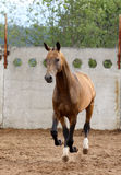 Akhal-teke horse runs. In paddock royalty free stock image