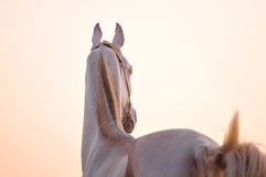 Akhal-teke horse in sunset Royalty Free Stock Photos