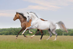 Akhal-teke horse on white Royalty Free Stock Images
