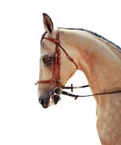 Akhal-Teke horse. On a white background stock photos