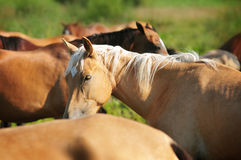 Akhal-teke horses herd Royalty Free Stock Photography
