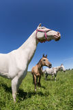 Akhal Teke horses Royalty Free Stock Photography