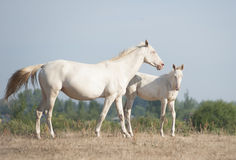 Akhal-Teke horses mare and foal Stock Images
