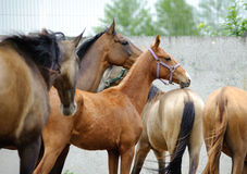 Akhal-teke horses in paddock Royalty Free Stock Photo