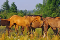 Akhal-teke Horses on a summer pasture Stock Photo