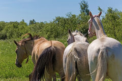 Akhal Teke horses Stock Photography