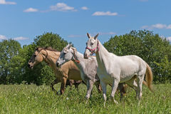 Akhal Teke horses Royalty Free Stock Images
