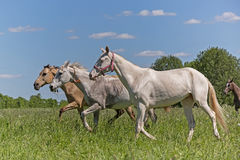 Akhal Teke horses Stock Photo