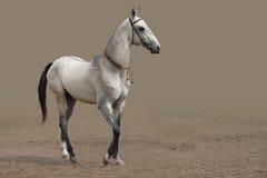 Akhal-Teke koński traken Zdjęcia Royalty Free