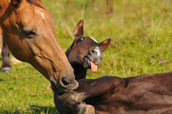 Akhal-teke mare and foal royalty free stock images