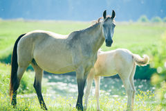 Akhal-teke mare and foal near the lake in the morning Royalty Free Stock Photos