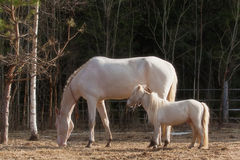 Akhal Teke mare and mini horse stallion Stock Photos