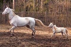 Akhal Teke mare and mini horse stallion Stock Images