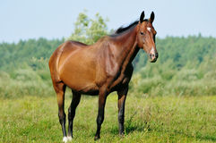 Akhal-teke mare in pasture Stock Image