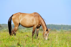 Akhal-teke mare in pasture Stock Photo