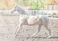 Akhal -akhal-teke paardportret stock foto