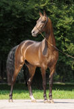 Akhal-teke stallion. In park in the summer stock images