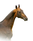 Akhal-teke stallion isolated on white Royalty Free Stock Photos