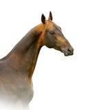 Akhal-teke stallion isolated on white Royalty Free Stock Photos