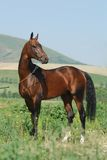 Akhal-Teke stallion and the mountains Stock Image