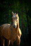 Akhal-teke stallion. Portrait of a thoroughbred akhal-teke stallion in summer Stock Images