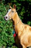 akhal złotego końskiego portreta czerwony lato teke obraz stock