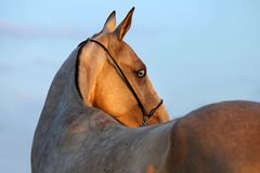 Akhalteke mare in evening royalty free stock photos