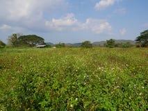 Żakietów guzików kwiatu pole Zdjęcia Stock
