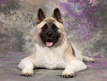 Akita Royalty Free Stock Photography