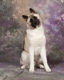 Akita. Dog shot in studio royalty free stock images