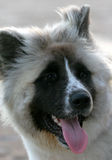 Akita. Close up of an Akita, pedigree dog stock photos