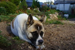 Akita Royalty Free Stock Photos