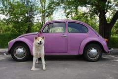 Akita and car Stock Images