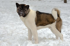 Akita dans la neige Images stock