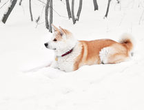 Akita dog Stock Photography