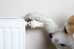 Akita dog adjusting comfort temperature Royalty Free Stock Image