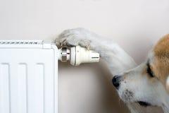 Akita dog adjusting comfort temperature. Household concept with dog adjusting comfort temperature on radiator. The dog is Japanese Akita Inu Royalty Free Stock Image
