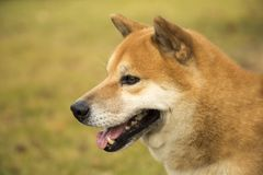 Akita dog royalty free stock images