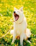 Akita Dog (Akita Inu, japan Akita) Arkivbilder