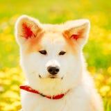 Akita Dog (Akita Inu, japan Akita) Royaltyfri Foto