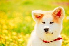 Akita Dog (Akita Inu, japan Akita) Royaltyfria Foton