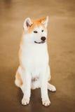 Akita Dog (Akita Inu, japan Akita) slut upp ståenden Arkivfoto