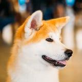 Akita Dog Akita Inu japanAkita slut upp Arkivbilder