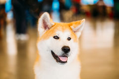 Akita Dog (Akita Inu, Japanese Akita) Close Up Portrait Stock Photo