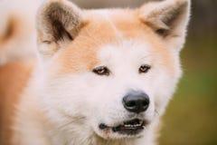 Akita Dog or Akita Inu, Japanese Akita Outdoor. Close Up Royalty Free Stock Image