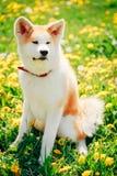 Akita Dog (Akita Inu, Japanese Akita) Royalty Free Stock Images