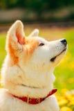 Akita Dog (Akita Inu, Japanese Akita) Stock Images