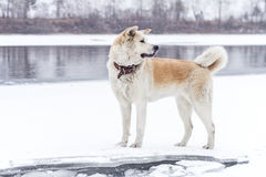 Akita dog on the bank of the river. Royalty Free Stock Photo